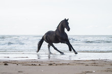 Black Friasian Horse On Beach