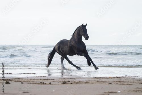Fototapeta black friasian horse on beach obraz