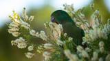 Fototapeta Tęcza - king parrot