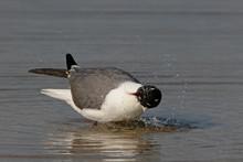 Laughing Gull, Leucophaeus Atr...