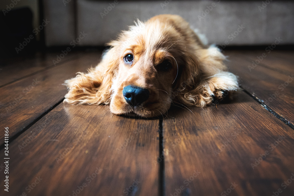 Fototapety, obrazy: Golden Cocker Spaniel relaxing on a wooden floor