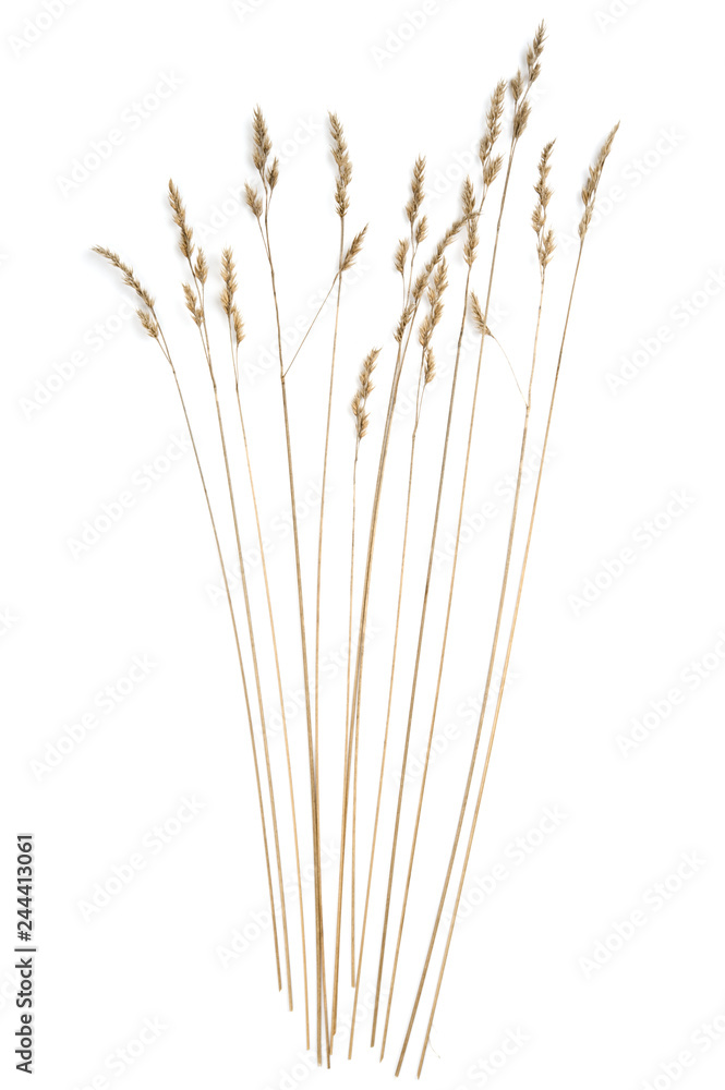 Fototapety, obrazy: Dried grasses isolated on white background.