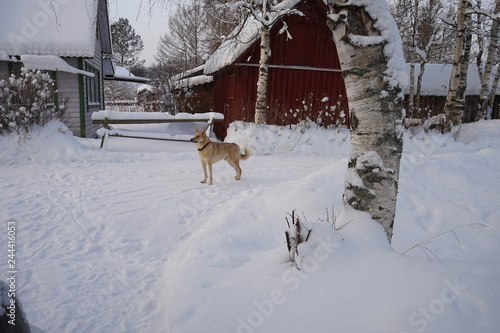 Fotobehang Winter village. House covered in snow. Sunny day. Dog