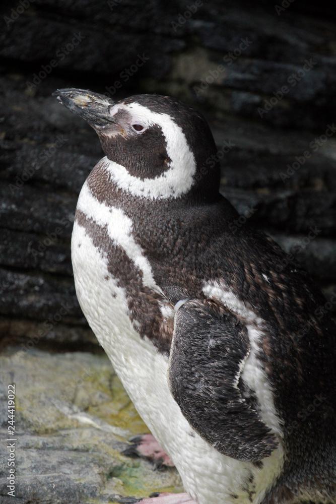 Penguin, Aquarium, Lisbon, Portugal