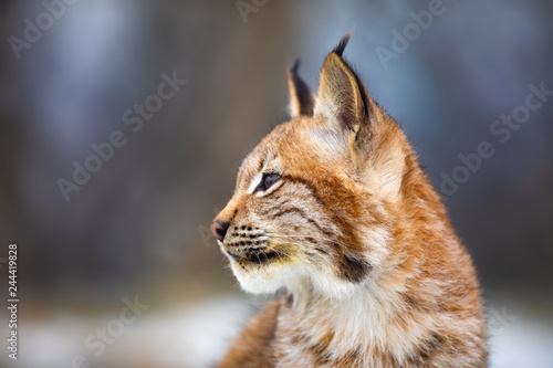 Portrait of eurasian lynx sitting in the forest at early winter Wallpaper Mural