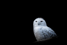 White Feathered Snowy Owl Surr...