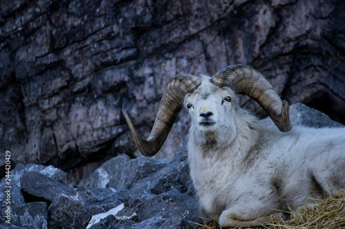 Big horned sheep amidst rocky outcropping with cool light during mid winter Fototapete