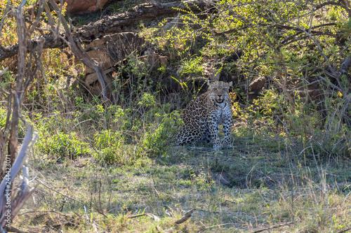 Fotografie, Obraz  Leopard sitting in the grass on hot day, Kruger Park