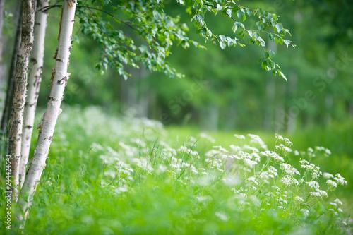 Fotografía  Birch trees (Betula pendula) and flowering cow parsley (Anthriscus sylvestris)