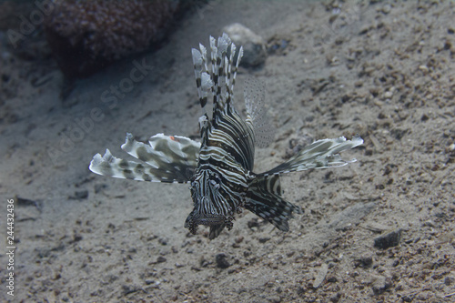 Common Lionfish in Red Sea