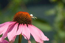 Pink Flower And Spider, Close ...