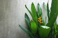 Yellow Flower Of Heliconia Bihai With Green Leaves