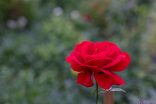 Beautiful Valentine Rose Bud,L...