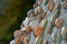 Coins In A Money Or Wish Tree In St Nectans Glenn Near Tintagel In Northern Cornwall.