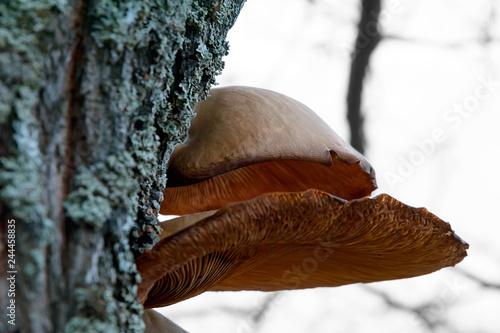 Fotografia, Obraz  Polypore fungi growing on birch tree.