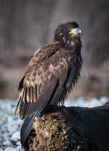Young Eagle Portrait