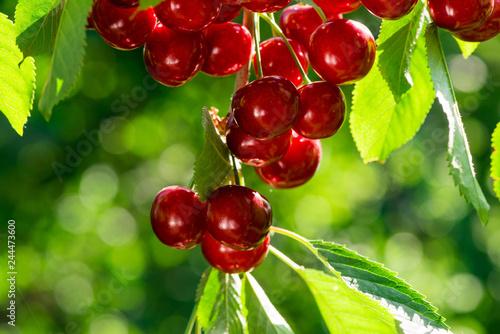 sweet cherry close up
