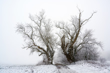 Two Old Poplar Trees On A Coun...