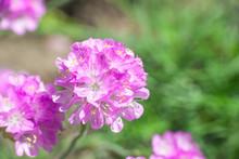 Armeria Maritima Pink Flowers In Spring Garden