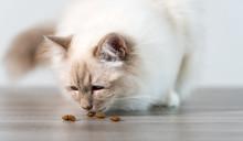 Beautiful Sacred Cat Of Burma Eating Dry Cat Food