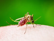 canvas print picture Yellow Fever, Malaria or Zika Virus Infected Mosquito Insect Macro on Green Background