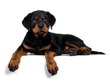 Cute Purebred Rottweiler Dog Pup Laying Down Side Ways, Head Up Looking With Sweet Eyes Straight Ahead At Camera. Isolated On White Background.