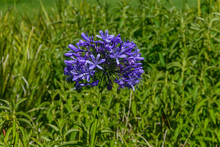 Single Purple Agapanthus Flower, Also Known As The African Lily Purple Cloud, In South Africa