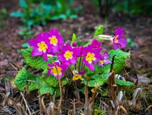 Perennial Pink Primrose Or Primula In The Spring Garden.