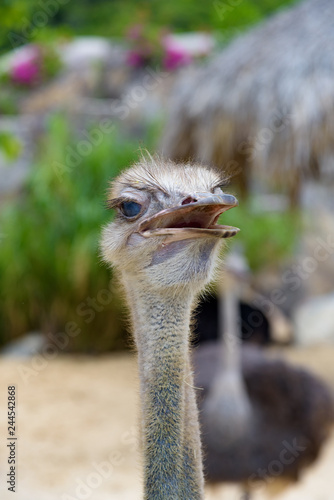 ostrich close up head