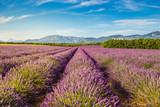Lavender fields near Valensole, Provence, France - 244545043
