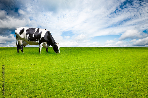 Obraz Kuh auf Weide - fototapety do salonu