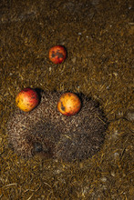 Hedgehog With Apples On Their ...
