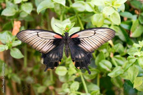 Fototapeta premium Motyl