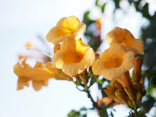 Yellow Trumpet Creeper Flowers Isolated Against White Sky