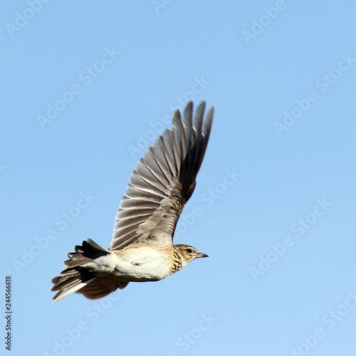 Valokuva  Skylark in the sky