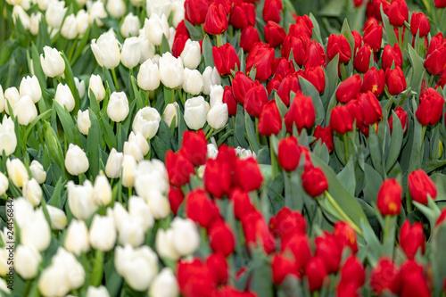 Photo  Field of Tulips