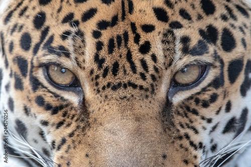 sleeping jaguar Fototapete