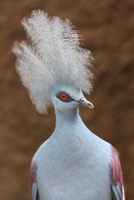 The Western Crowned Pigeon, Also Known As The Common Crowned Pigeon Or Blue Crowned Pigeon (Goura Cristata), Portrait With Brown Background.