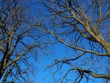 Looking Up At Bare Tree Branches In Winter With A Vivid Blue Sky