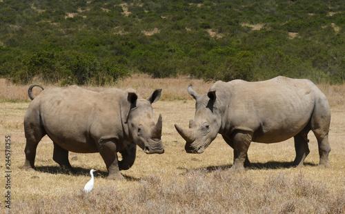 Nashörner in Kenia