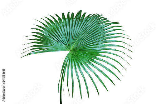 Fotografie, Obraz  Fresh Green Leaf of Exotic Tropical Palm Isolated on White Background