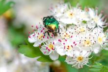 Beetle Cetonia Aurata Sitting ...
