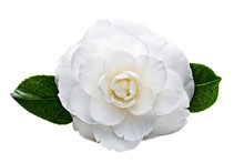 White Camellia Flower With Dew Drops Isolated On White Background. Camellia Japonica