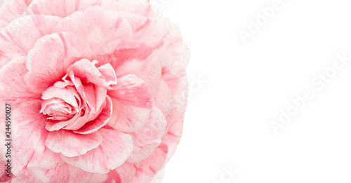 Cuadros en Lienzo Pink camellia flower isolated on white background with copy space for invitation