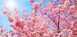 canvas print picture Blühende Kirschbäume und die Sonne