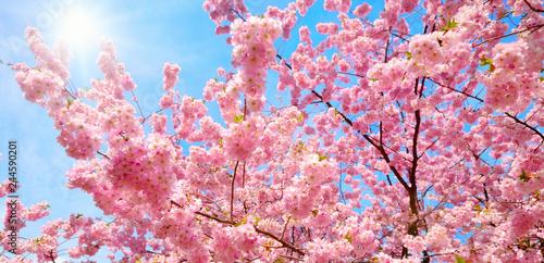 Cadres-photo bureau Rose banbon Blühende Kirschbäume und die Sonne