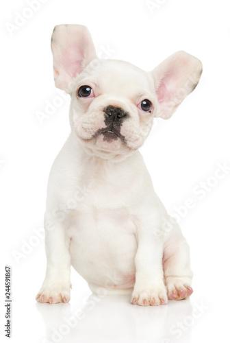 Spoed Fotobehang Franse bulldog White French Bulldog puppy sits