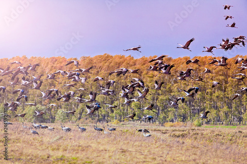 Fotografía  flock of cranes flies over the field on the background forest