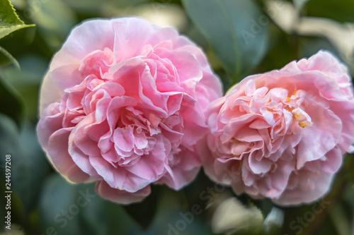 Fotografie, Obraz  Rosa Kamelie  japonica L. 'Debutante' Theaceae