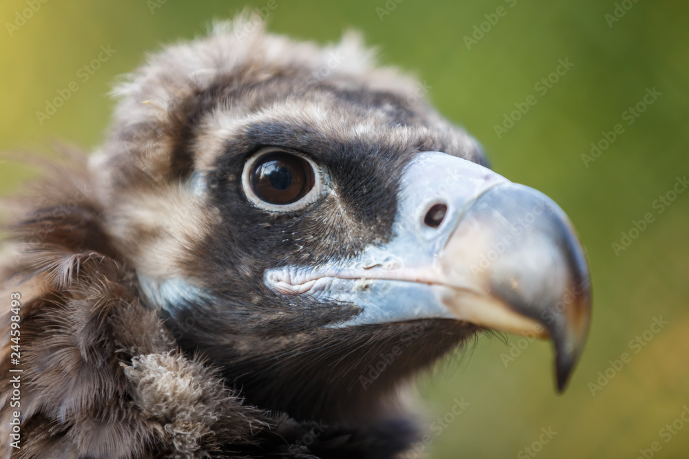 Head of a steppe eagle (aquila rapax, nipalensis)  close-up on a green background